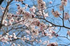 Λουλούδια του δέντρου αχλαδιών ενάντια στον ουρανό Στοκ Εικόνα