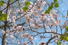 Λουλούδια του δέντρου αχλαδιών ενάντια στον ουρανό Στοκ Φωτογραφία
