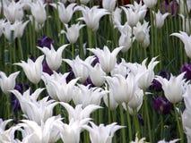 Λουλούδια Τουλίπες άνοιξη Στοκ εικόνα με δικαίωμα ελεύθερης χρήσης
