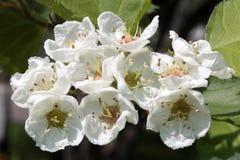 Λουλούδια του αγγλικού κραταίγου Στοκ εικόνα με δικαίωμα ελεύθερης χρήσης