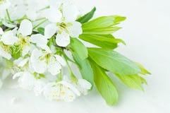 Λουλούδια του δαμάσκηνου Στοκ Εικόνες
