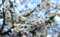 Λουλούδια του δαμάσκηνου Στοκ εικόνες με δικαίωμα ελεύθερης χρήσης