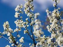 Λουλούδια του ανθίζοντας Apple-δέντρου Στοκ Φωτογραφία