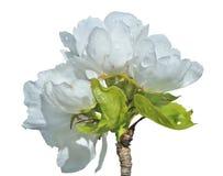 Λουλούδια του αχλαδιού 19 Στοκ εικόνες με δικαίωμα ελεύθερης χρήσης