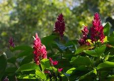 Λουλούδια του βραζιλιάνου κόκκινου επενδύτη (Megaskepasma erythrochlamys) στοκ εικόνα με δικαίωμα ελεύθερης χρήσης