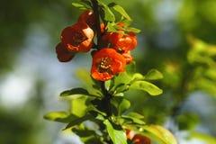 Λουλούδια του ιαπωνικού κυδωνιού Στοκ Εικόνα
