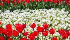 Λουλούδια τουλιπών κόκκινου χρώματος στον κήπο Στοκ Φωτογραφία
