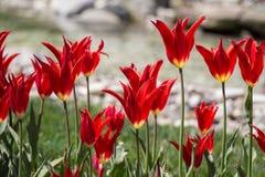 Λουλούδια τουλιπών κόκκινου χρώματος στον κήπο Στοκ Εικόνες