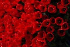 Λουλούδια τουλιπών κόκκινου χρώματος στον κήπο Στοκ φωτογραφία με δικαίωμα ελεύθερης χρήσης