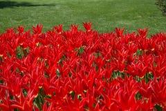Λουλούδια τουλιπών κόκκινου χρώματος στον κήπο Στοκ Εικόνα