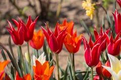 Λουλούδια τουλιπών κόκκινου χρώματος στον κήπο Στοκ εικόνες με δικαίωμα ελεύθερης χρήσης