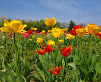 Λουλούδια τουλιπών σε μια όμορφη ημέρα της άνοιξη Στοκ Φωτογραφίες