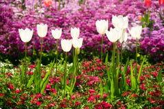 Λουλούδια τουλιπών φεστιβάλ λουλουδιών Toowoomba Στοκ φωτογραφία με δικαίωμα ελεύθερης χρήσης
