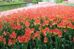 Λουλούδια τουλιπών, keukenhof κήπος Ολλανδία στοκ φωτογραφίες με δικαίωμα ελεύθερης χρήσης