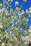 Λουλούδια του κερασιού, δέντρα μηλιάς ενάντια στο μπλε ουρανό Στοκ εικόνα με δικαίωμα ελεύθερης χρήσης