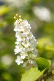 Λουλούδια του κερασιού πουλιών μια ηλιόλουστη ημέρα άνοιξη Στοκ Εικόνα