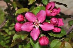 Λουλούδια του κόκκινου χρώματος Apple-δέντρων Στοκ φωτογραφία με δικαίωμα ελεύθερης χρήσης