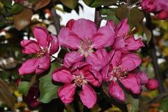 Λουλούδια του κόκκινου χρώματος Apple-δέντρων Στοκ Εικόνα