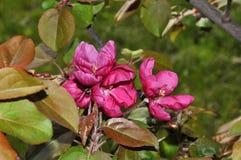 Λουλούδια του κόκκινου χρώματος Apple-δέντρων Στοκ Φωτογραφίες