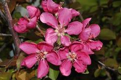 Λουλούδια του κόκκινου χρώματος Apple-δέντρων Στοκ εικόνες με δικαίωμα ελεύθερης χρήσης