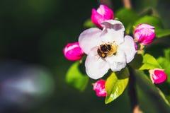 Λουλούδια του μήλου φωτεινή άνοιξη ανασκόπησης Στοκ Φωτογραφία