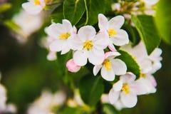 Λουλούδια του μήλου φωτεινή άνοιξη ανασκόπησης Στοκ εικόνα με δικαίωμα ελεύθερης χρήσης