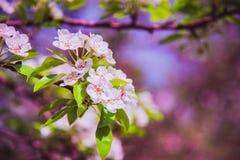 Λουλούδια του μήλου φωτεινή άνοιξη ανασκόπησης Στοκ Φωτογραφίες