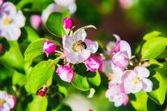 Λουλούδια του μήλου φωτεινή άνοιξη ανασκόπησης Στοκ φωτογραφία με δικαίωμα ελεύθερης χρήσης