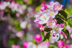 Λουλούδια του μήλου φωτεινή άνοιξη ανασκόπησης Στοκ Εικόνες