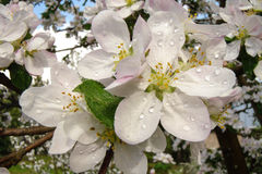 Λουλούδια του μήλου Στοκ εικόνες με δικαίωμα ελεύθερης χρήσης