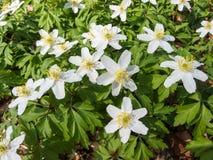 Λουλούδια του ξύλινου anemone την άνοιξη Στοκ Εικόνες