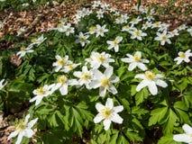 Λουλούδια του ξύλινου anemone την άνοιξη Στοκ φωτογραφίες με δικαίωμα ελεύθερης χρήσης