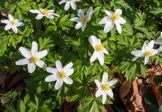 Λουλούδια του ξύλινου anemone την άνοιξη Στοκ εικόνα με δικαίωμα ελεύθερης χρήσης