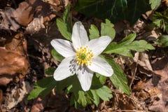 Λουλούδια του ξύλινου anemone την άνοιξη Στοκ φωτογραφία με δικαίωμα ελεύθερης χρήσης