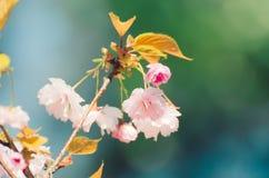 Λουλούδια του πράσινου sakura Στοκ Φωτογραφία