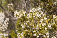Λουλούδια του ρεικιού δέντρων, arborea της Erica Στοκ εικόνες με δικαίωμα ελεύθερης χρήσης
