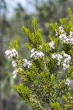 Λουλούδια του ρεικιού δέντρων, arborea της Erica Στοκ εικόνα με δικαίωμα ελεύθερης χρήσης