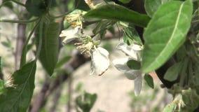 Λουλούδια του ροδάκινου στον κήπο θάλασσας Bourgas στη Βουλγαρία απόθεμα βίντεο