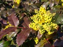Λουλούδια του σταφυλιού του Όρεγκον την άνοιξη Στοκ φωτογραφία με δικαίωμα ελεύθερης χρήσης