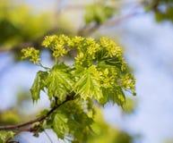 Λουλούδια του σφενδάμνου Στοκ Εικόνα