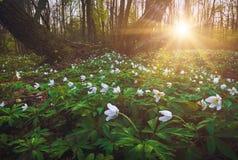 Λουλούδια του Adonis σε ένα φως του ηλιοβασιλέματος Στοκ Εικόνες