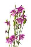 Λουλούδια του aquilegia Στοκ εικόνες με δικαίωμα ελεύθερης χρήσης
