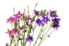 Λουλούδια του aquilegia Στοκ Εικόνα