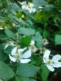Λουλούδια του Blackberry Στοκ Εικόνα