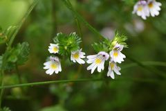 Λουλούδια του Eyebright rostkoviana Euphrasia στοκ εικόνες με δικαίωμα ελεύθερης χρήσης