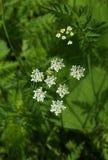 Λουλούδια του hemlock Στοκ εικόνες με δικαίωμα ελεύθερης χρήσης