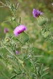 Λουλούδια του lappa arctium Στοκ εικόνες με δικαίωμα ελεύθερης χρήσης