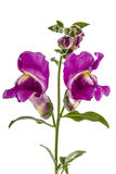 Λουλούδια του snapdragon, lat Antirrhinum, που απομονώνεται στο άσπρο backgr Στοκ Φωτογραφίες