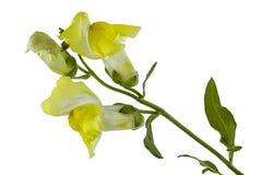 Λουλούδια του snapdragon, lat Antirrhinum, που απομονώνεται στο άσπρο backgr Στοκ Φωτογραφία