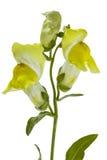 Λουλούδια του snapdragon, lat Antirrhinum, που απομονώνεται στο άσπρο backgr Στοκ φωτογραφία με δικαίωμα ελεύθερης χρήσης
